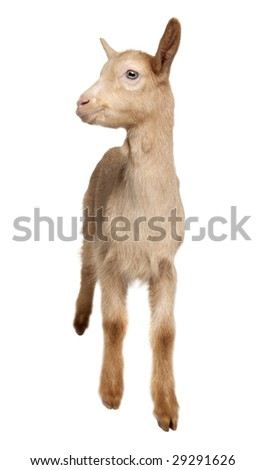 Young brown Goat (2 months old) in front of a white background