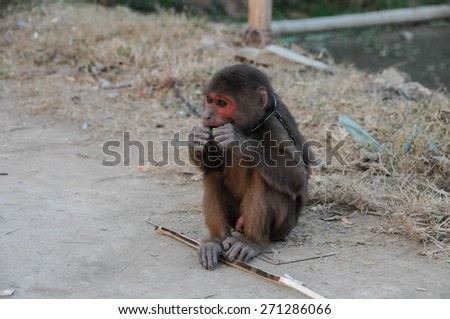 Young Brown Monkey in Chains in Vietnam - stock photo