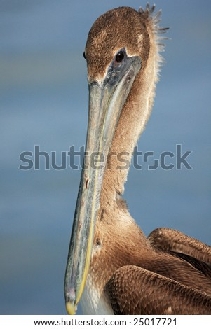 Young brown pelican with water background - stock photo