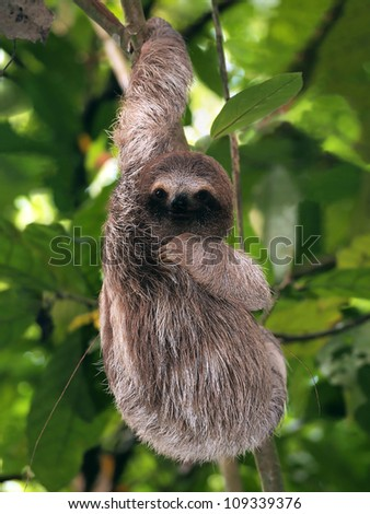 Young Brown-Throated Three-Toed sloth hanging from a branch, Bocas del Toro, Panama - stock photo