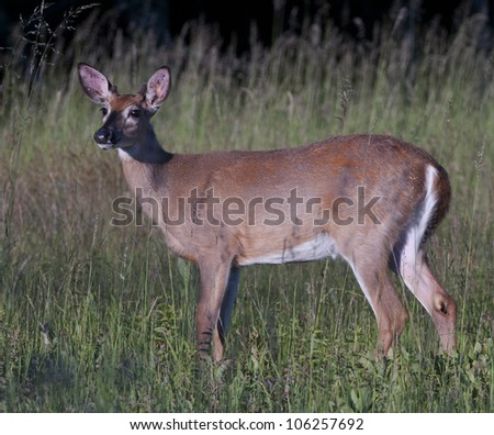 young buck - stock photo