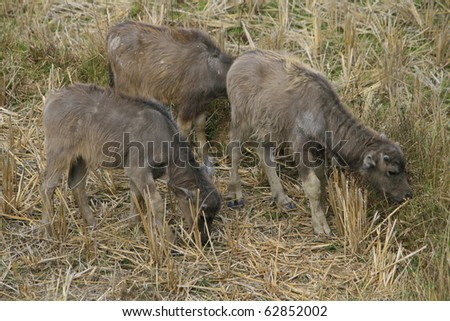 young buffalo herd in a harvested step rice field - stock photo