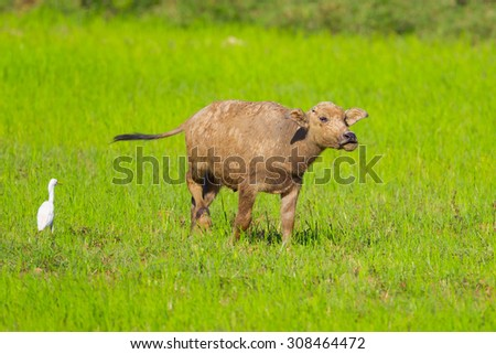 Young buffalo  in nature in Thailand - stock photo