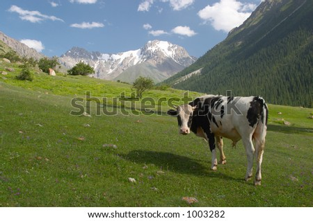 Young bull feeding - stock photo