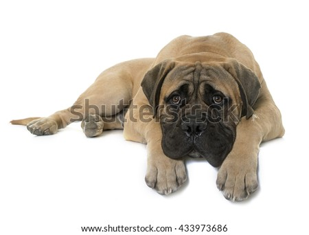 young bull mastiff in front of white background - stock photo