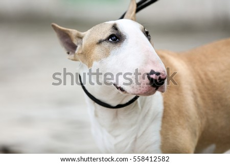 Young Bull Terrier Walks Outdoors