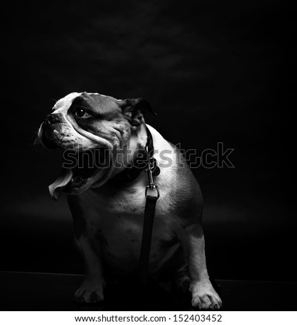 Young bulldog in studio in black and white - stock photo