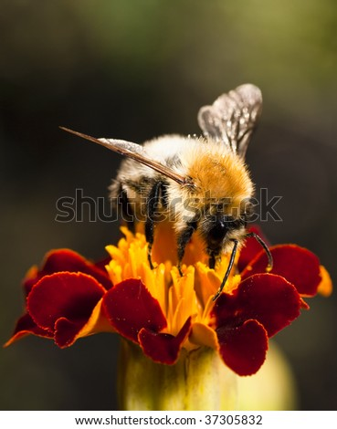 Young bumblebee at work on the red flower - stock photo