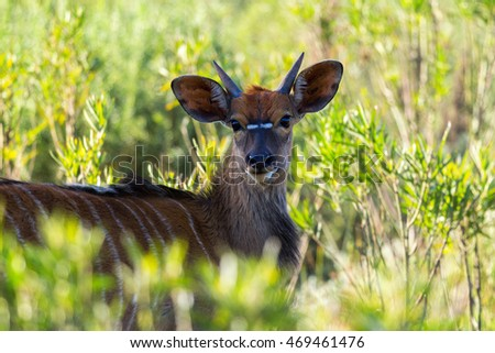 young bush buck lying secretively in the shade of a tree amongst the rich green grassland bush