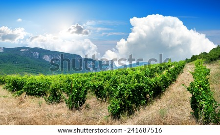 Young bushes of grape in the mountains - stock photo