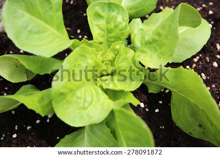 Young Butterhead Lettuce Plant	 - stock photo