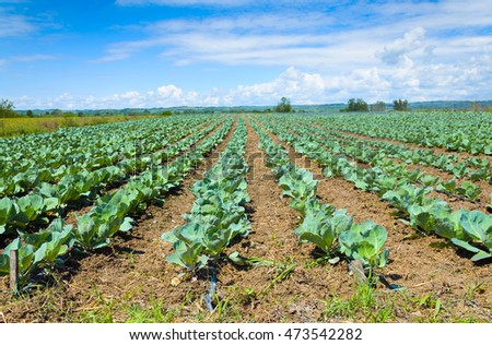 Young cabbage growing in a field with irrigation system and blue sky