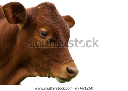 young calf against white background - stock photo