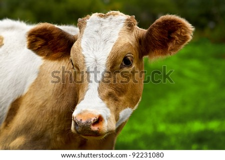 Young calf on a green field