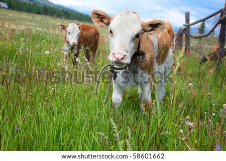 Young calves in the pasture with green grass on a summer day - stock photo