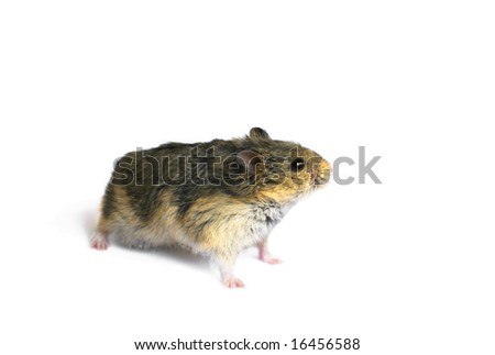 Young campbell's dwarf hamster (Phodopus campbelli) isolated on whitebackground - stock photo