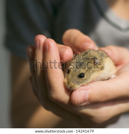 Young campbell's dwarf hamster (Phodopus campbelli) on woman hands - stock photo