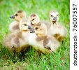 Young Canadian goslings. - stock photo