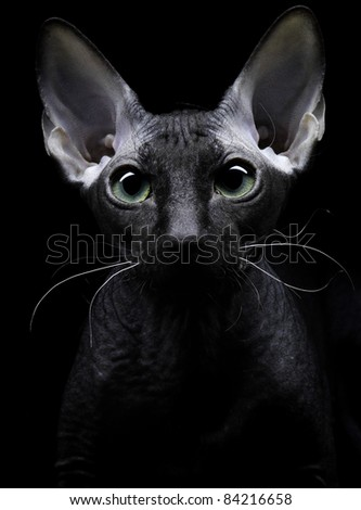 Young canadian sphynx cat looking at the camera on black background - stock photo