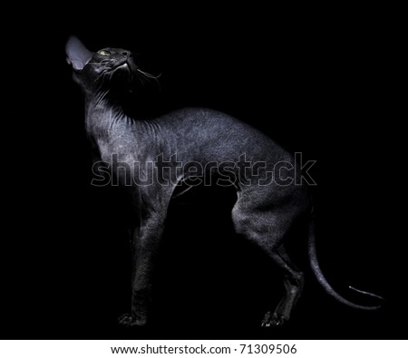 Young canadian sphynx cat on black background