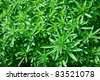 Young cannabis - stock photo