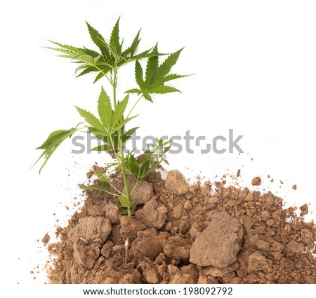 young cannabis plant in soil - stock photo