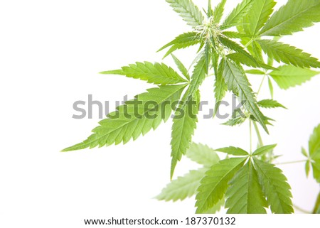 Young cannabis plant, marijuana, isolated on white background