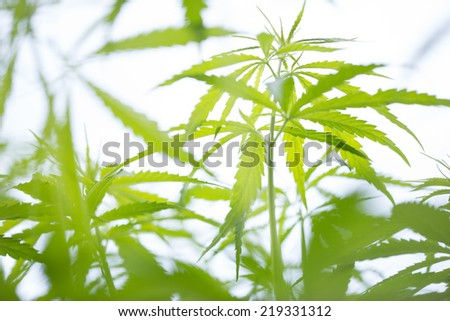 Young cannabis plant, marijuana on white background - stock photo