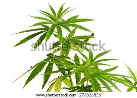 Young cannabis plant marijuana plant detail - stock photo