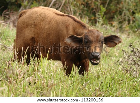 Young Cape Buffalo calf grazing and staring. - stock photo