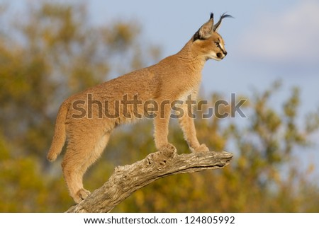 Young Caracal (Felis caracal) in South Africa high up on a dead branch looking alert. - stock photo