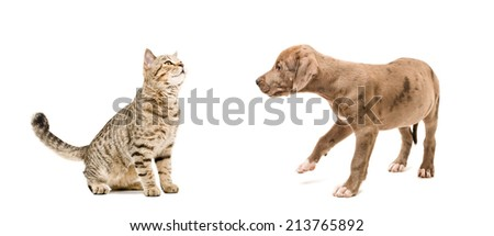 Young cat and puppy pitbull sniffing each other - stock photo