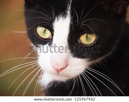 young cat, black and white,  close-up - stock photo