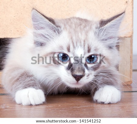 young cat gets out of the wooden box