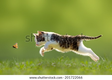 young cat hunting butterfly on a meadow backlit - stock photo
