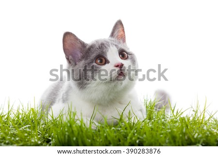 young cat in the grass. Small gray kitten - stock photo