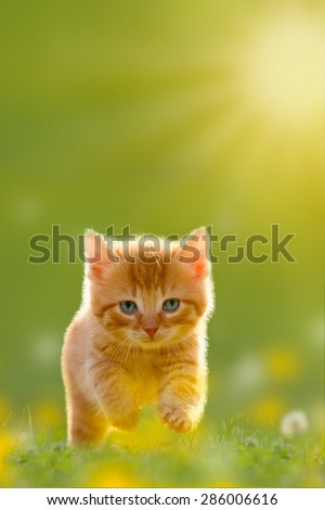 Young cat jumps over a meadow with Back Lit - stock photo