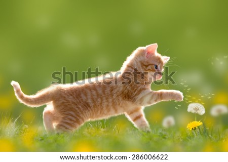 Young cat plays with dandelion in Back light on green meadow - stock photo