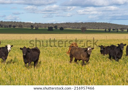 young cattle grazing in a grass pasture with cloudy sky - stock photo