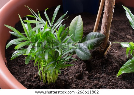 young chamadorea palms repotted - stock photo