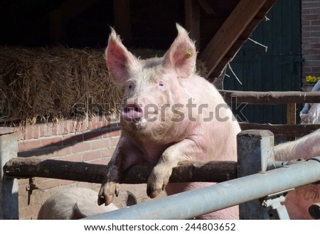 Young chattering pig on the gate of the stable waiting for food - stock photo