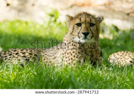 young cheetah - stock photo