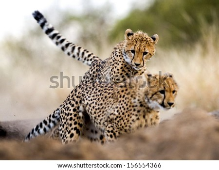 Young cheetah cubs chasing each other - stock photo