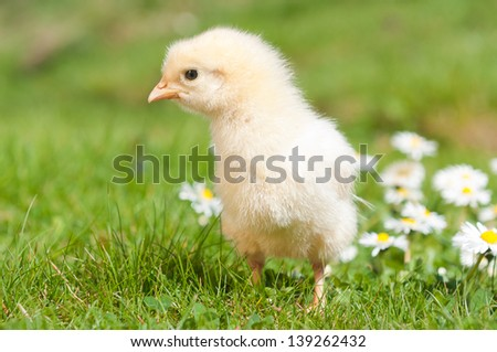 Young chick exploring the grass - stock photo