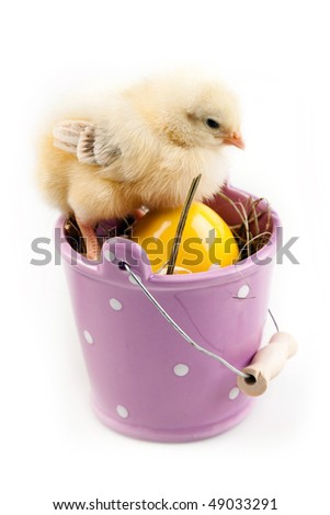 young chick sitting on bucket - isolated - stock photo