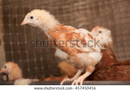 Young chickens in a cage at a poultry farm