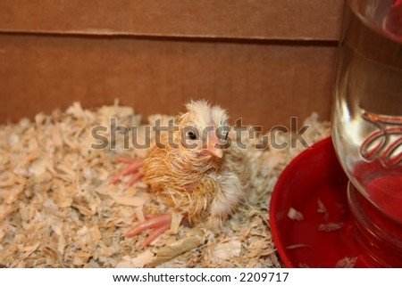 Young Chicks just hatched - stock photo