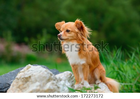 young chihuahua dog sitting on stone - stock photo