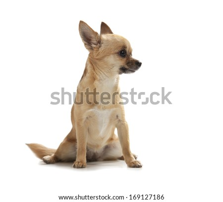 Young chihuahua isolated over white background - stock photo