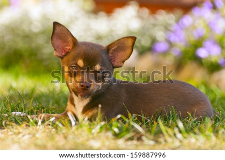Young chihuahua with a beautiful background of colorful flowers - stock photo